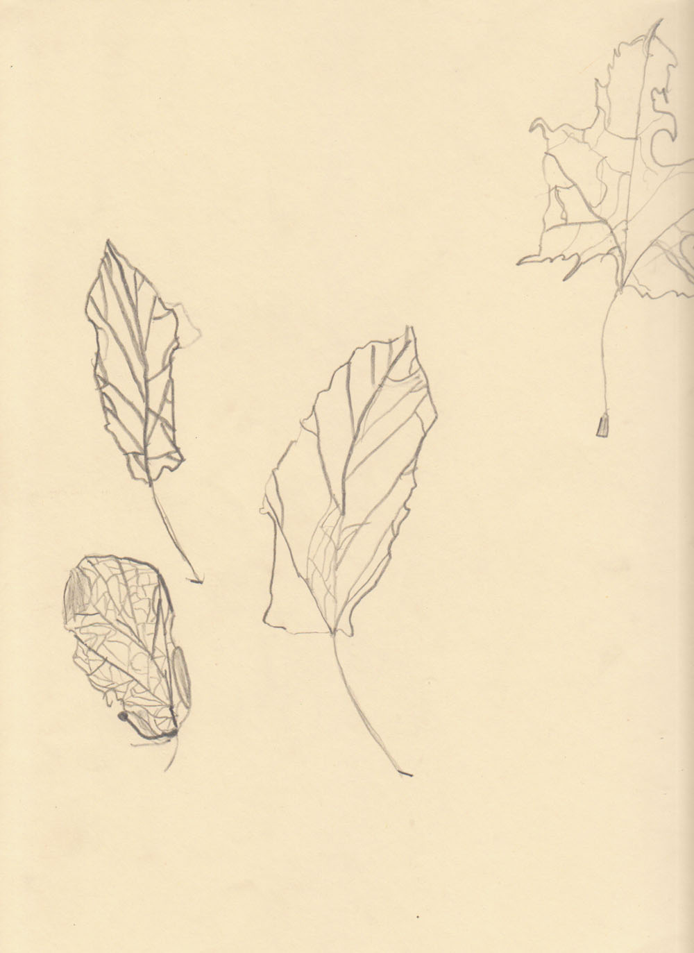 Contour Line Drawing Leaf : Th grade weeks studying nature using contour lines