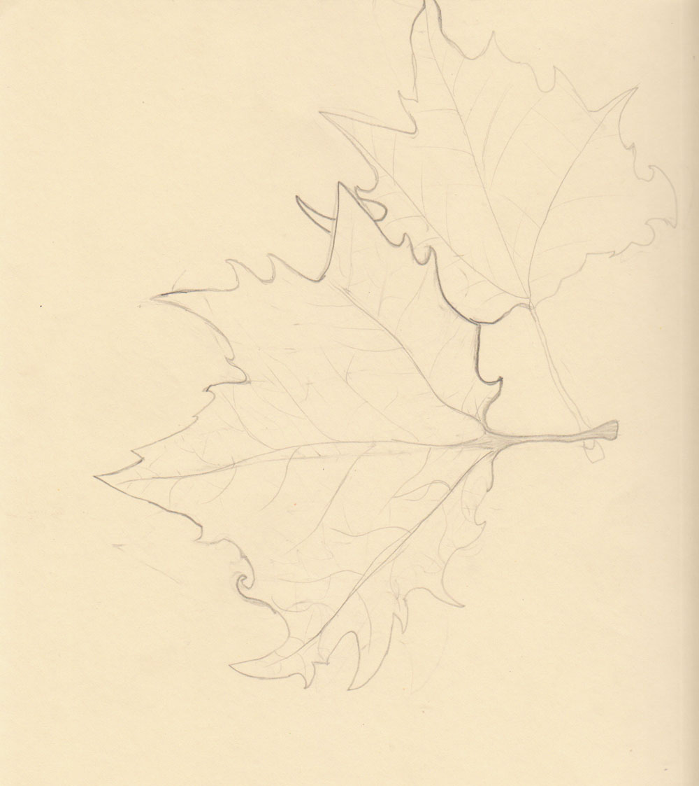 Contour Line Drawing Leaves : Th grade weeks studying nature using contour lines